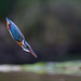 Kingfisher by Mr F1