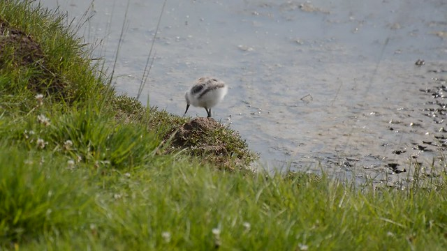 Avocet chick feeding