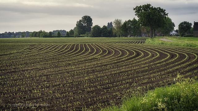 Mais - Corn (explored)