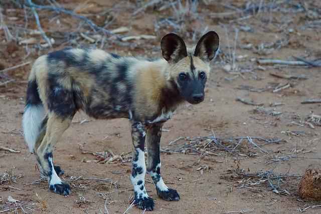 endangered African Wild Dog, Sony ILCA-77M2, Sony 70-400mm F4-5.6 G SSM II (SAL70400G2)