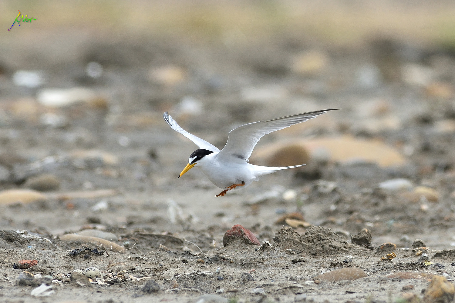 Little_Tern_2396