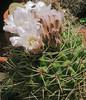 J20170520-0030—Cactus Flowers