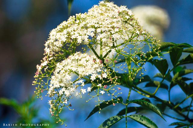 Elderberry Flower in Munnar, Kerala