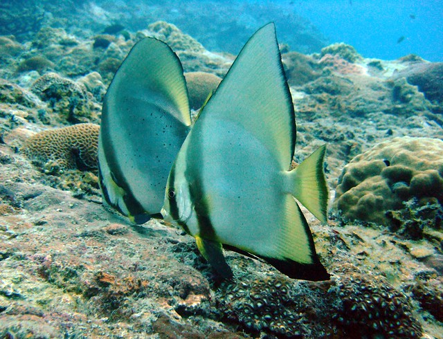 Bat Fish at Tokong, Fujifilm FinePix F50fd