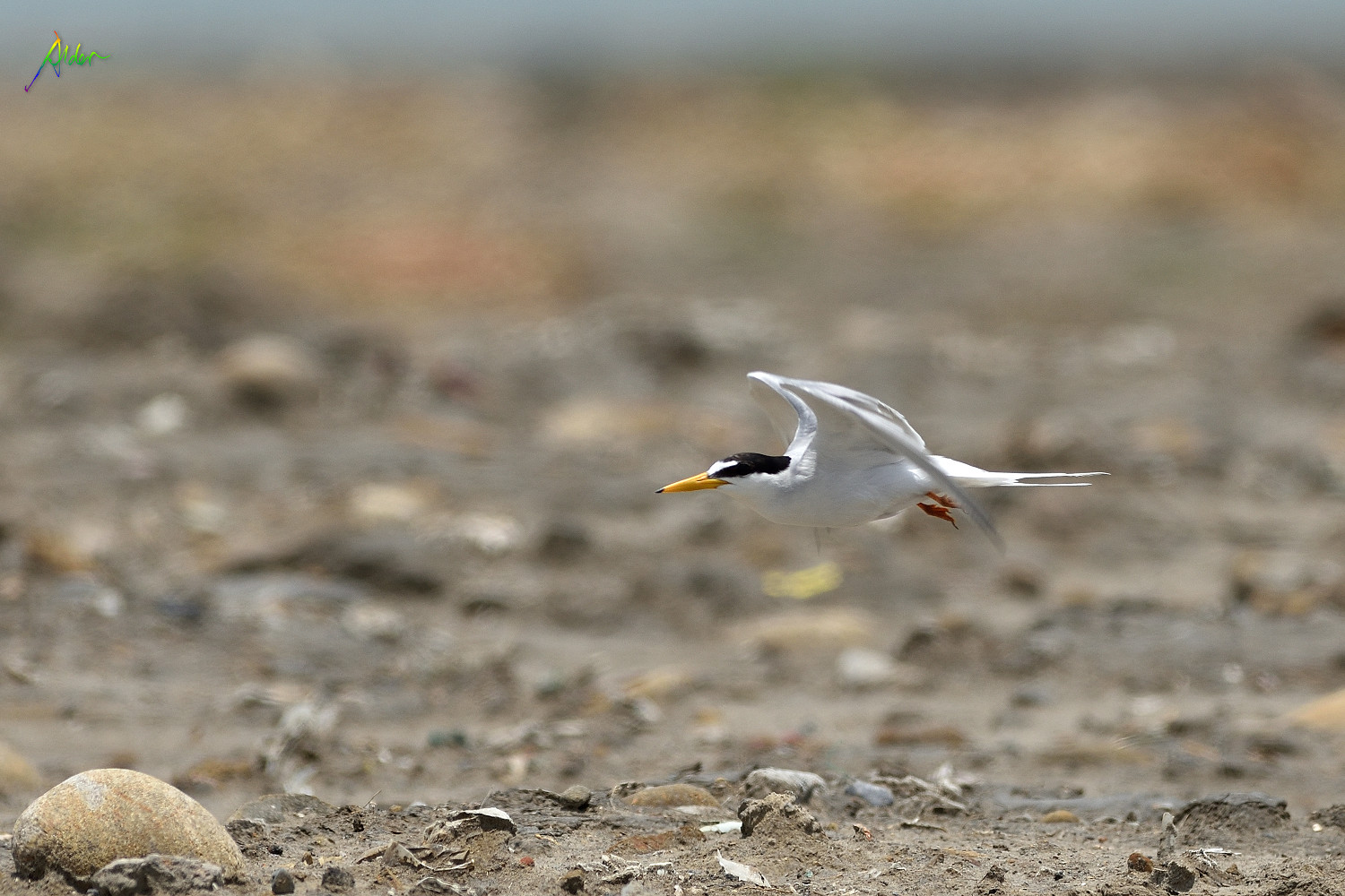 Little_Tern_2414
