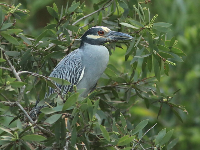 Yellow-crowned Night-Heron 20170620, Canon EOS 80D, Canon EF 300mm f/4L IS + 1.4x