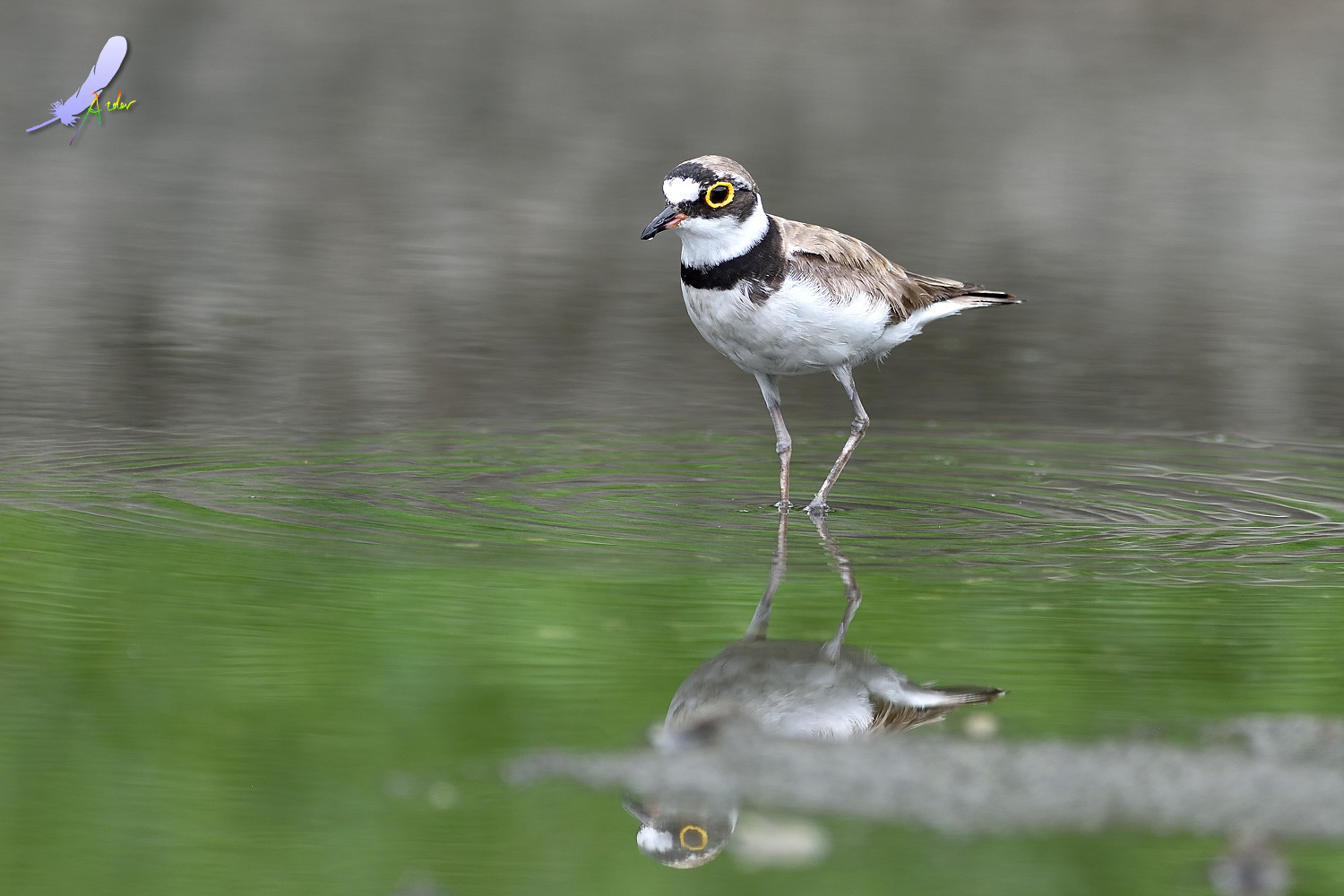 Little_Ringed_Plover_4907
