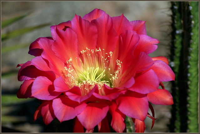The Cactus Flower Pops, Canon EOS 7D, Tamron SP 70-300mm f/4.0-5.6 Di VC USD