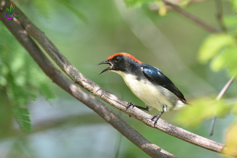 Scarlet-backed_Flowerpecker_8966