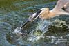 The Great Blue Heron strikes again!