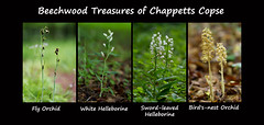 Woodland rarities of Chappetts Copse