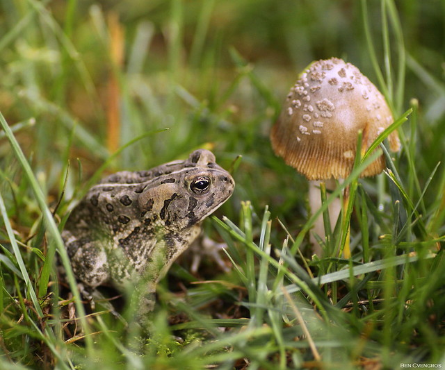 Fowler's Toad and Ink, Canon EOS 50D, Tamron 90mm f/2.8