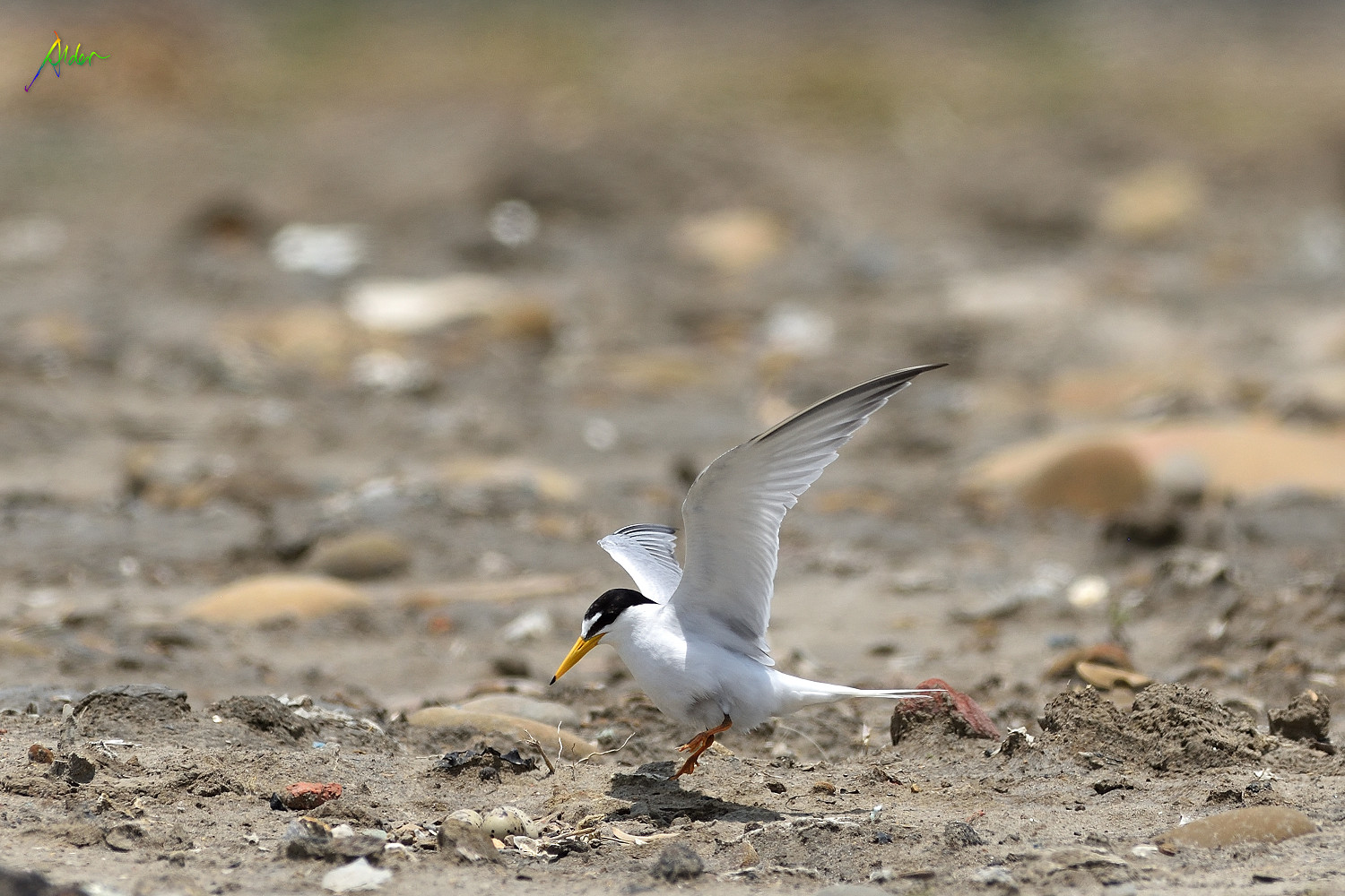 Little_Tern_2421