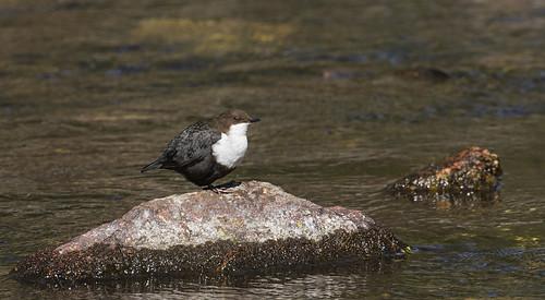 Dipper - the river bird