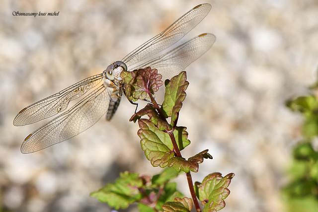 Dragonfly / Libellule., Nikon D500, AF-S DX Micro Nikkor 85mm f/3.5G ED VR