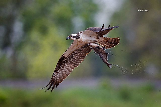 Osprey with Gizzard Shad