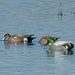 Mareca falcata (Falcated Duck) male and Mareca americana (American Wigeon) pair