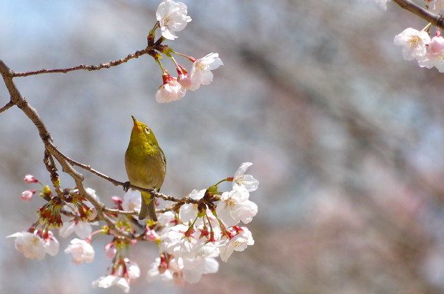 White-eye, Pentax K-30, smc PENTAX-DA L 55-300mm F4-5.8 ED