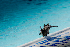 Brewer's Blackbird Taking a sip at the LMU Pool