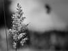 alb negru fir de iarba-6080064