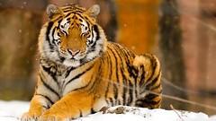 Sleepy Siberian wild tiger https://t.co/HhrHUYeSlG #istanbul #food #lezzet #mutfak #nefis #kebap #Tarif #yemektarifleri #foodporn #recipe ?