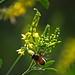 Yellow Sweetclover and its Benifactor