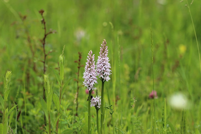 Common Spotted Orchid, Canon EOS 600D, Canon EF 100mm f/2.8 Macro USM