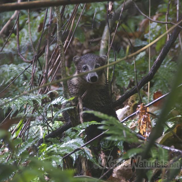 coati 0000 Corcovado, Osa peninsula, Costa Rica