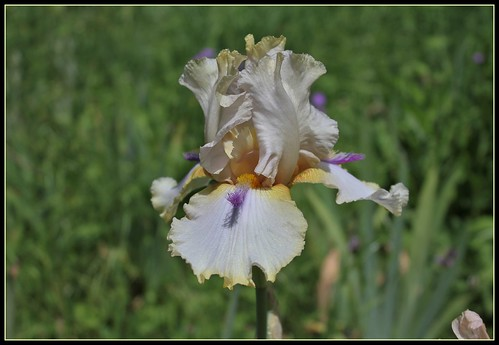 Iris 'Chamois d'Or' - Luc Bourdillon ± 2004 34948458232_4a355ae28a