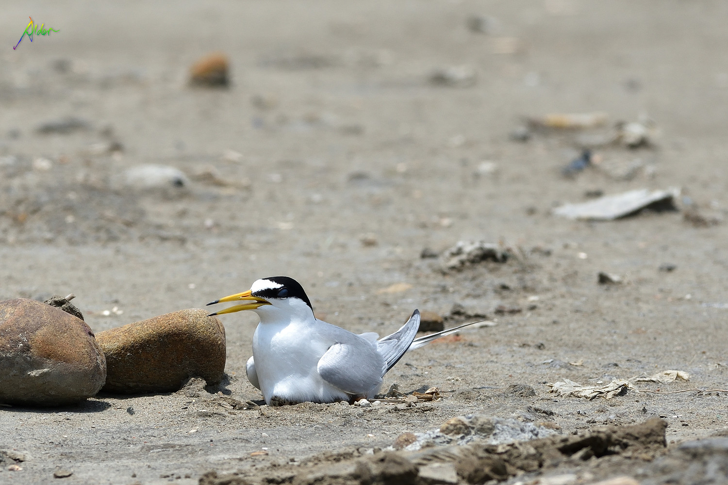 Little_Tern_2662