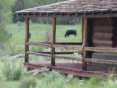 Borracho Cattle