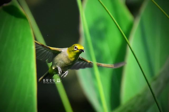 20170531 植物園-綠繡眼 (6), Nikon D5500, AF Zoom-Nikkor 35-80mm f/4-5.6D