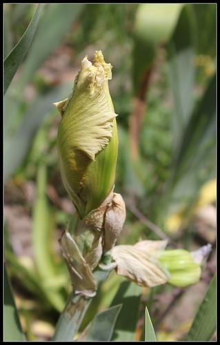 Iris 'Mistigri' - Bernard Laporte 2007 NR 35032879595_ddea0f5fe5