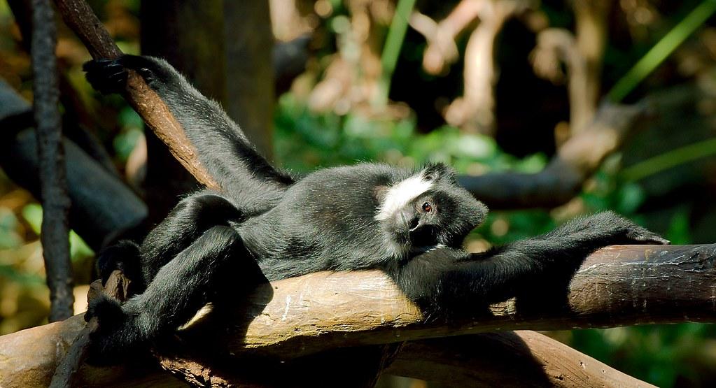 Gibbon_2