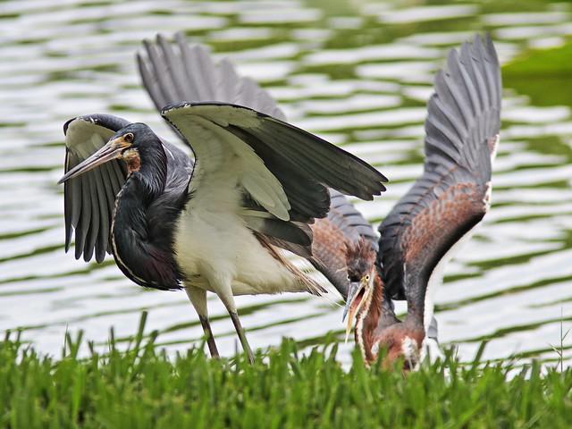 Tricolored Heron demands feeding 02-20170612
