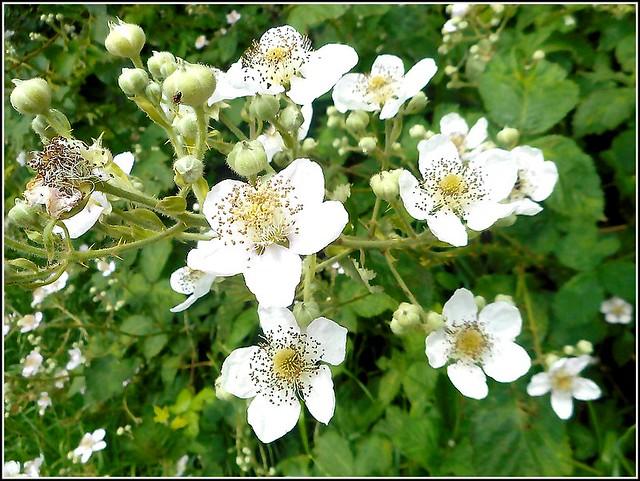 White Wild Roses ..