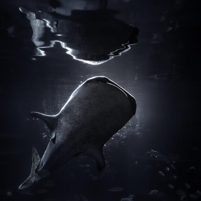 Osaka Aquarium Whale Shark