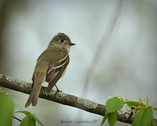 Moucherolle Tchébec - Least Flycatcher