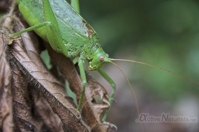 grasshopper 0001 Corcovado, Osa peninsula, Costa Rica