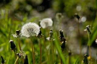 Dandelions, Cloud Bay, Ontario