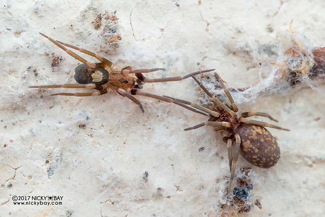 Crevice weaver spider (Pritha sp.) - DSC_5791