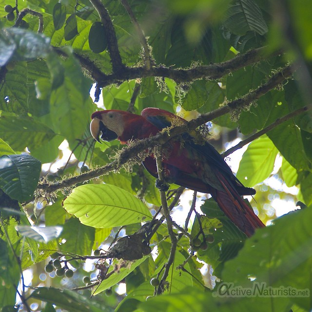 Scarlet Macaw 0000 Corcovado, Osa peninsula, Costa Rica
