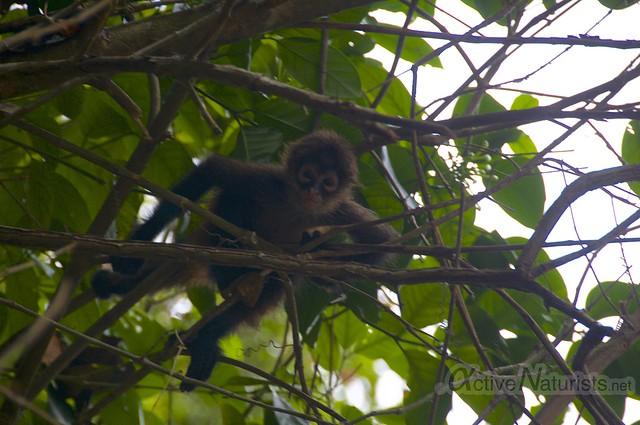 spider monkey 0000 Corcovado, Osa peninsula, Costa Rica