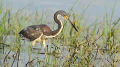 Tricolored Heron (immature)- Green Key