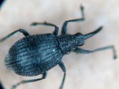 Weevil - Eutrichapion ervi