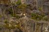 Falco peregrinus [PEREGRINE FALCON] England,  21.05.17