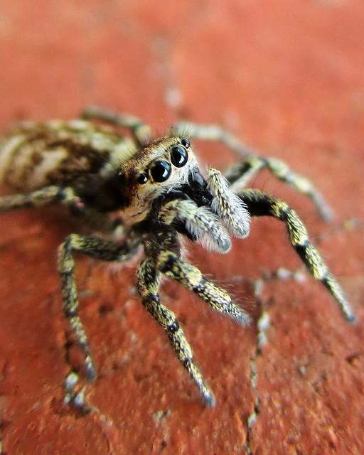 Zebra Jumping Spider, Canon IXUS 165