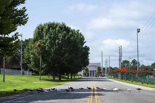 Ibises on Bledsoe Drive