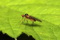 Diptera, Hybotidae, Ocydromia sp. (Dance Fly) - Everett, WA
