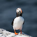 Puffin by Steve C Waddingham